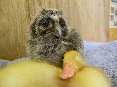 Duck & Owl