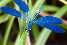 Bright blue dragon fly