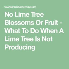 No Lime Tree Blossoms Or Fruit - What To Do When A Lime Tree Is Not Producing