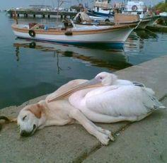 Ungewöhnliche Freundschaften -  Hund und Pelikan
