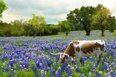 Fredericksburg in the Hill Country of Texas - Spring Bluebonnets!  Close to my home in Leakey, TX. places-i-like
