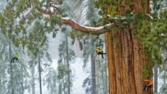 """The world's second-largest known tree, the President, in Sequoia National Park is photographed by National Geographic magazine photographer Michael """"Nick"""" Nichols for the December 2012 issue. The final photograph is a mosaic of 126 images. Giant Sequoia Trees, Giant Tree, Big Tree, Tree Tree, Sierra Nevada, Sequoia National Park, National Parks, National Forest, National Geographic"""