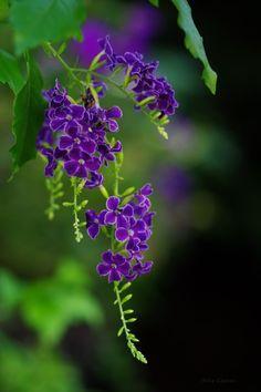 Brazilian skyflower (Duranta repens)