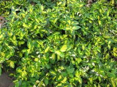 Euonymus doesn't have to be ho-hum. Here, 'Green 'N Gold' brightens a shady part of the garden.