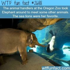 Wtf fun tact The animal handlers at the Oregon Zoo took Elephant around to meet some other animals The sea lions were her favorite wutffu un fact con