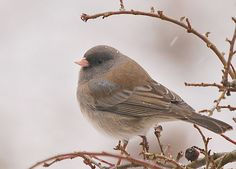 Junco- pic taken by mom