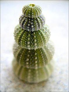 green sea urchins