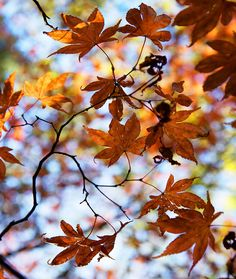 Cefn Onn Maple by Julie Shackson, via Flickr