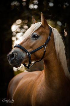 Cute Horses, Pretty Horses, Horse Love, Beautiful Horses, Animals Beautiful, Cute Animals, Equine Photography, Animal Photography, Haflinger Horse
