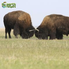 Fun Fact Friday: During the mating season, male American bison (bulls) will use their large heads to butt each other in attempts to gain the attention of females.