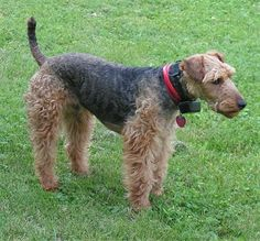 The Welsh Terrier is a vigilant, active, cheerful dog that is affectionate and intelligent. Loving, devoted, playful and happy, it is usually patient with children and can withstand rough play. Curious, courageous, hardy, energetic and peppy, it is best suited to an active family.