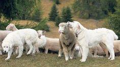 Eine Herde mit Herdenschutzhunden: Die Schafe gewöhnen sich schneller an die Hunde als die Wanderer.