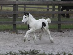 Gypsy Vanner Baby