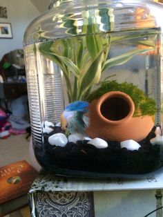 Using an old flour jar for a fish tank makes for an elegant betta environment that you can add live plants to for healthier water. I've never seen a more active beta than Archer!