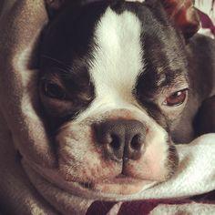 Love being as snug as a bug in the hoomans bed  #comfy #snugasabug #happypuppy #bostonterrier #puppy #puppiesofinstagram #dog #dogsofinstagram #pet #love #like #cute #ilovemydog #squishyfacecrew #instalike #flatnosedogsociety #bostonterriersofinstagram #instadog by bertiethebostonterrier