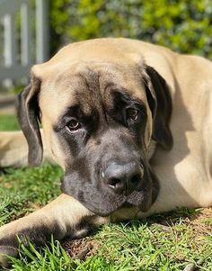 14 Reasons Why You Should Never Own English Mastiffs English Mastiff Puppies, English Mastiffs, Big Dogs, Large Dogs, Cute Dogs, Mastiff Breeds, Mastiff Dogs, Chihuahua Puppies, Baby Puppies