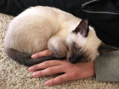 Throwback to when Blue was still white and always used me as his pillow (5 months old) by olindos cats kitten catsonweb cute adorable funny sleepy animals nature kitty cutie ca