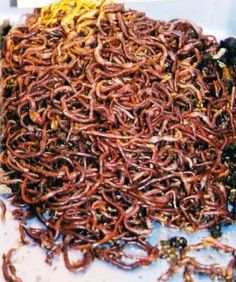 """Composting Worms from  Our Vital Earth - With over 4,000 species of earthworms, only 3 are considered FRESH GARBAGE Composting Worms: Eisenia foetida """"Composting Red Wiggler""""; Excavatus """"Composting Blue""""; and Rubellus """"Composting Tiger"""" or """"Yellow Tail"""""""