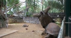 One pushes the other giant tortoise to which he falls on his back. This funny animal video is made by Noah in Artis Amsterdam.