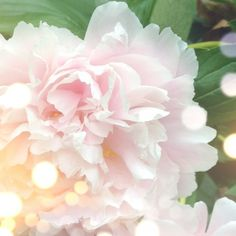 Pink Peonies with graceful and romantic petals, so soft and pure.