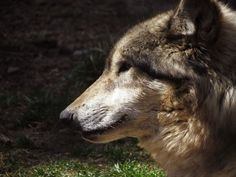 Female wolf, Sioux, from the ZooAmerica pack in Hershey, PA. Feel free to use as a reference or as stock for photo-manipulations. Gray Wolf, Grey, Brown Bear, Photo Manipulation, Wolves, Deviantart, Stock Photos, Animals, Ash