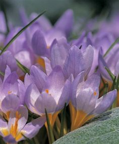 2d47c3ce896c Among the earliest crocuses to flower