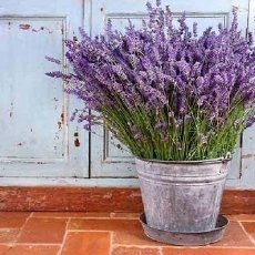 Modern Uses of Lavender Lavender is packed with therapeutic value and is widely used in various forms for a number of conditions. Because of its stimulating effect, lavender is often used to elevate mood, reduce mental trauma and revive a tired nervous system. In addition, lavender also has sedative properties that make it a relaxing tonic for both the mind and the body. If you…   [read more]