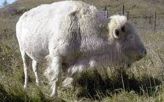 Image result for white buffalo calf