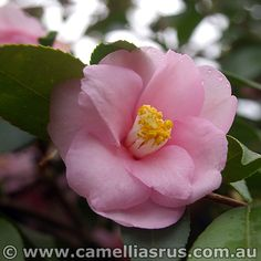 Camellia hybrid 'Mandy' (Australia, 1982) Weeping camellia, masses of tiny flowers
