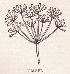 Umbel Page 2954. Umbel type plant (parsley family) from page 2954 of  the public domain book, The Home and School Reference Work by The Home and School Education Society, copyright 1917. | by perpetualplum
