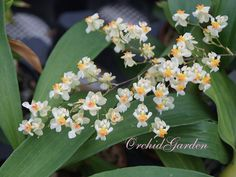 Orchid Oncidium Twinkle White-Light Pink (FS, with spike)
