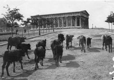 """""""Cows in the temple of Hephaestus. Athens History, Greek History, Old Pictures, Old Photos, Vintage Photos, Monuments, Athens Greece, Orient, Ancient Greece"""