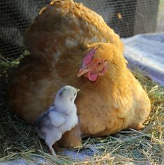 Chickens Archives - Page 2 of 11 - Sweet Southern Blue Beautiful Chickens, Cute Chickens, Chickens And Roosters, Raising Chickens, Chickens Backyard, Beautiful Birds, Animals Beautiful, Cute Baby Animals, Farm Animals