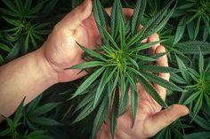 Cannabis Edibles, Cannabis Plant, Weed Plants, Micro Nutrients, Plant Growth, Weeding, Bud, Harvest