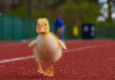 """Duckling:  """"Please can you help me? I've lost my Mom, have you seen her anywhere around here?"""""""