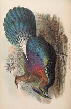 more@ - 1850 - Birds of Asia / by John Gould; Sharpe, Richard Bowdler
