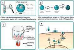 How transfection works