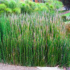 32 Equisetum Ideas Horsetail Plants Snake In The Grass