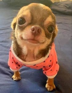 Effective Potty Training Chihuahua Consistency Is Key Ideas. Brilliant Potty Training Chihuahua Consistency Is Key Ideas. Cute Little Animals, Cute Funny Animals, Little Dogs, Cute Chihuahua, Long Haired Chihuahua, Chihuahua For Sale, Teacup Chihuahua Puppies, Teacup Dogs, Teacup Pomeranian