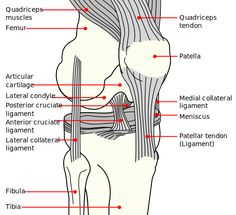 Ligament Facts for Kids | KidzSearch.com