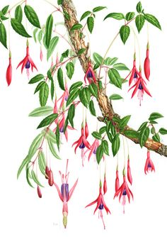 Fuchsia magellanica Botanical Drawings, Botanical Illustration, Botanical Flowers, Botanical Prints, Watercolor Flowers, Watercolor Art, Watercolour Tutorials, Painting Inspiration, Painting & Drawing