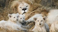 hd white lion images