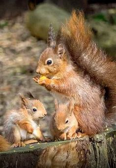 Dinner time for Mother Red Squirrel and her babies....