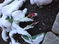 The surprise snow we had yesterday dusted plants that jumped out of the ground during our 74 degree weather last week. Check out Journey North's gallery of test garden photos and get ready to start observing your garden.