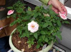 Psali jste o miniaturní růži, kterou si lze koupit v zahradnictví. Ale mě by zajímalo, je-li možné, abych takové růže v květináči sám pěstoval. Gardening Tips, Plants, Plant, Planets
