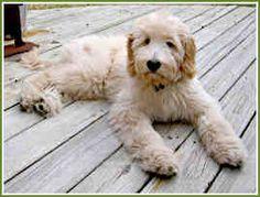 My Favorite...Goldendoodles:)