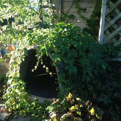 Igloo dog house covered with chicken wire for vines to grow. Nice camouflage and keeps the house cool.