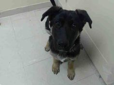URGENT - Staten Island Center   DEXTER - A0988196    MALE, BLACK / BROWN, GERM SHEPHERD MIX, 6 mos  STRAY - STRAY WAIT, NO HOLD Reason STRAY  Intake condition NONE Intake Date 12/26/2013, From NY 11224, DueOut Date 12/29/2013,   . Looking to adopt, check him out asap! He's not listed on their facebook page, so you will have to ask about him. https://www.facebook.com/NYCACC  I'm posting this on all my boards to help spread the word.