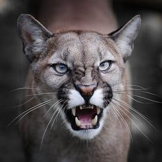 Cougar, Puma, Mountain Lion, whatever name you choose to give him, always remember to give him space. Big Cats, Cool Cats, Cats And Kittens, Beautiful Cats, Animals Beautiful, Pumas Animal, Animals And Pets, Cute Animals, Wild Animals