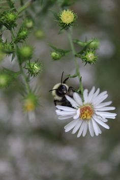 image of a bee on a field daisy flower